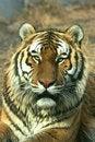 Free Asian Beautiful Tiger Stock Image - 16552791