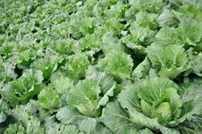 Free Row Of Cabbage Stock Photos - 16551103