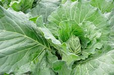 Row Of Cabbage Royalty Free Stock Photography