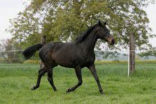 Free English Thoroughbred Horse Royalty Free Stock Photo - 16551905