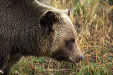 Free Male Grizzly Bear Royalty Free Stock Photos - 16552358