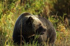 Free Male Grizzly Bear Royalty Free Stock Image - 16552406