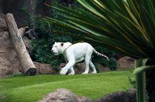 Free White Tiger Stock Photos - 16552913