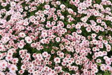 Free Background From Chrysanthemums Stock Photography - 16553562