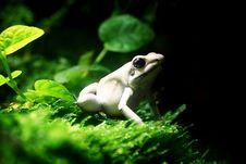 Terrible Dart Frog (Phyllobates Terribilis) Royalty Free Stock Images