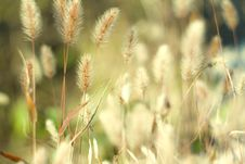Free Feather Grass Stock Photography - 16556562