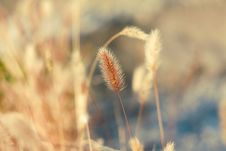 Free Feather Grass Royalty Free Stock Photo - 16556655
