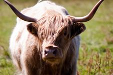 Free Scottish Highland Cattle Royalty Free Stock Photography - 16556997