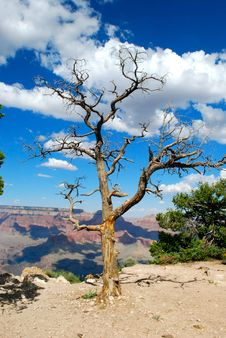 Free Grand Canyon And Tree Royalty Free Stock Photos - 16557198