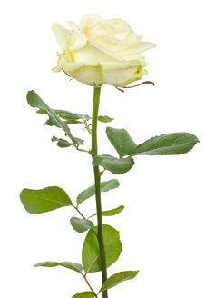 Free Beautiful White Rose Stock Photography - 16557602