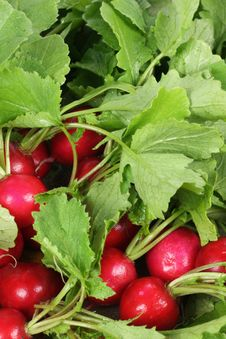 Free Fresh Radishes Stock Photography - 16558462