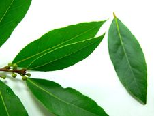 Free Bay Leaves Royalty Free Stock Photo - 16559015