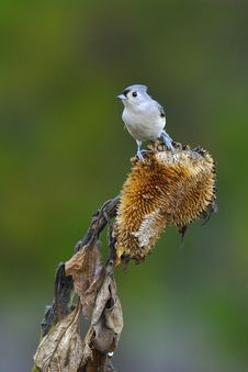 Free Tufted Titmouse A2 Royalty Free Stock Images - 16559689