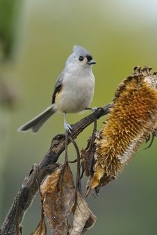Free Tufted Titmouse A3 Stock Photography - 16559742