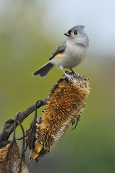 Free Tufted Titmouse A4 Stock Image - 16559771