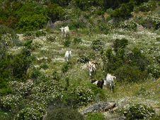 Free Sardinia Landscape With Goats Stock Photo - 16559850