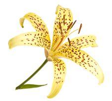 Free Lily Stock Photo - 16560350