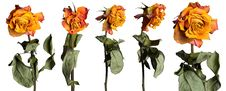 Free Faded Roses Set Stock Photography - 16561912