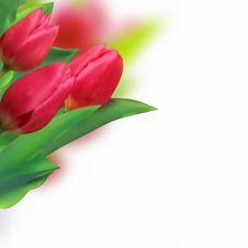 Spring Holiday Red Tulip. Stock Images