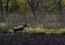 Free Female Moose Royalty Free Stock Photos - 16566008