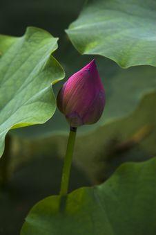 Free Lotus Pool Royalty Free Stock Photography - 16568247