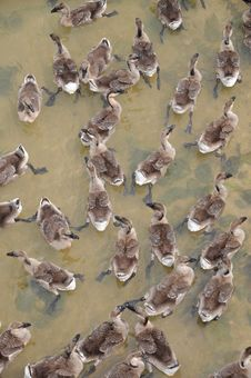 Free A Flock Of Ducks Royalty Free Stock Image - 16568986