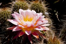 Free Pink Cactus Blossom Royalty Free Stock Images - 16570329