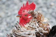 Free Frizzle Rooster Stock Photos - 16572693