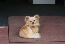 Free Chihuahua Dog On The Mat Royalty Free Stock Photography - 16573287