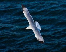 Free Seagull Stock Image - 16574301