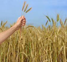Free Farmer Presenting Bunch Of Wheat Stock Images - 16574884
