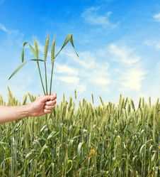 Free Farmer With Wheat Stock Photography - 16575252