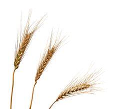Free Wheat Stock Photos - 16575303