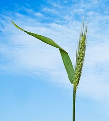Free Wheat Stock Images - 16575594