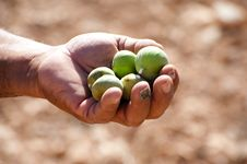Free Hand-Picked Figs Stock Images - 16576644