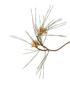 Free Pine Branch With Cones Stock Photography - 16577432