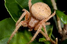 Free Brown Hairy Spider Royalty Free Stock Image - 16578526