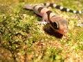 Free Wild Gecko Royalty Free Stock Photography - 16580327