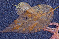 Free Autumn Leaf In Close Up Royalty Free Stock Photography - 16581247