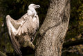 Free Griffon Vulture Stock Photo - 16582180