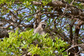 Free Vervet Monkey Royalty Free Stock Photos - 16584238