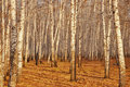 Free Birch Trees In The Autumn Royalty Free Stock Photography - 16586527