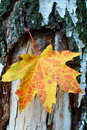 Free Golden-yellow Maple Leaf On Bark Of Birch Tree . Stock Photos - 16589013
