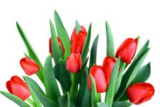 Free Tulips Royalty Free Stock Photo - 16580495