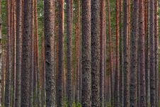 Free Pine Forest Stock Photo - 16580610