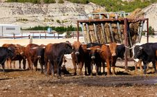 Bulls On A Farm Stock Photography