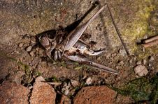 Dead Grasshopper And Ants Stock Photos