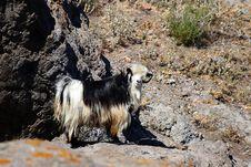 Free Goat Stock Image - 16582321