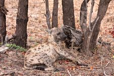 Free African Spotted Hyena Royalty Free Stock Photos - 16583188