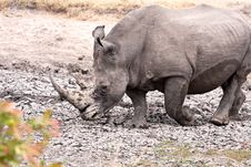 Free African White Rhinoceros Stock Images - 16583304
